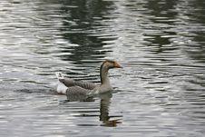 Free Goose Stock Photo - 636920
