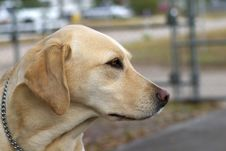 Free Gold Labrador Stock Photography - 637082