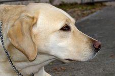 Free Gold Labrador Royalty Free Stock Photo - 637085