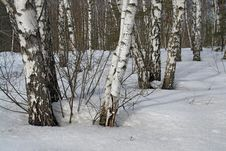 Birch Wood. Stock Images