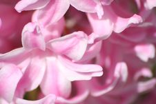 Free Hyacinth Royalty Free Stock Photography - 637267
