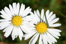 Free Daisies Royalty Free Stock Images - 637269