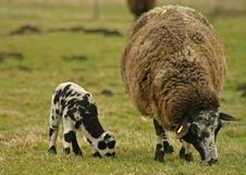 Free Young And Old Sheep Royalty Free Stock Photos - 637278