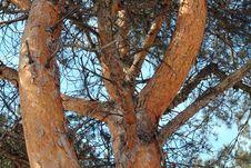 Free Pine. Stock Photos - 637493