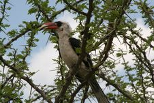 Free Hornbill In Tanzania Stock Image - 637721