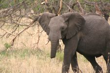 Free Injured Elephant Royalty Free Stock Photos - 637728
