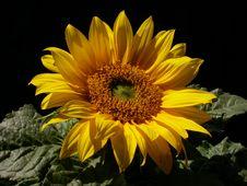 Free Single Sunflower Royalty Free Stock Image - 637876