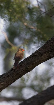 Free Female Cardinal Royalty Free Stock Photography - 638137