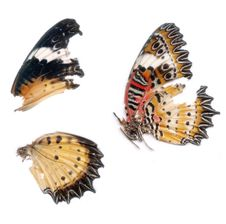 Free Scan Of Butterfly Wings Royalty Free Stock Photo - 638255