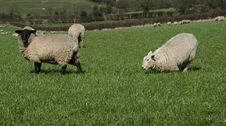 Free Sheep Stock Photos - 638323