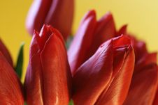 Free Red Tulip Closeup Royalty Free Stock Image - 638436