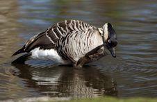 Free Hawaiian Goose Stock Images - 638754