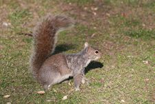 Free City Squirrel Royalty Free Stock Photo - 639005