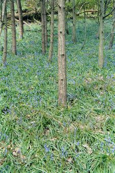 Free Bluebell Wood Royalty Free Stock Image - 639386