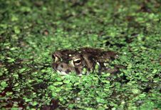 Free Common Toad Stock Image - 639491