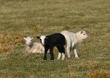 Free The Black Lamb And Friends Stock Images - 639694