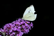 Free Cabbage White Butterfly Stock Image - 639891