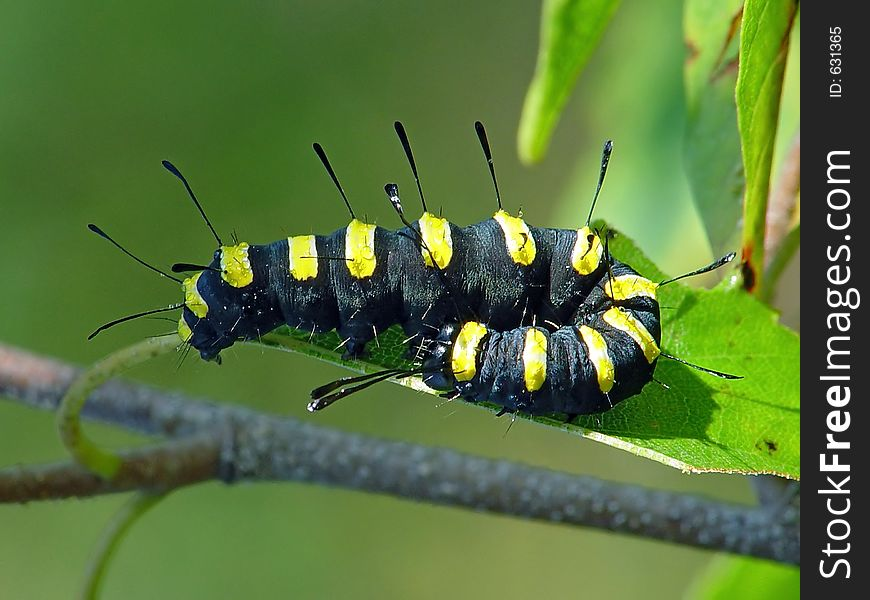 Caterpillar of butterfly Apatele alni.