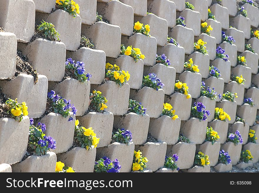 Pansies in the wall