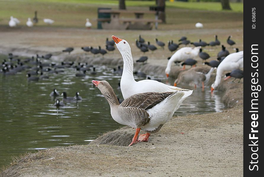 2 Geese Drinking
