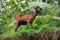 Free Brown Indian Goat Stock Photo - 6307550