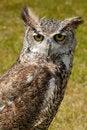 Free True Or Typical Owl, Strigidae Stock Photos - 6309253