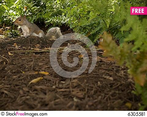 Free Grey Squirrel Stock Image - 6305581