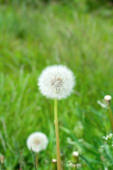 Dandelion In The Grass Stock Photos