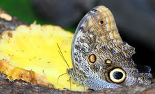 Free Butterfly Feeding On Tropical Fruit Royalty Free Stock Photos - 6300458