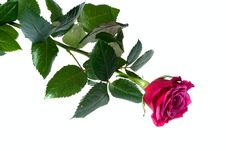 Free Red Rose On White Stock Photo - 6300510