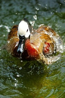 Free Wild Duck Stock Photo - 6301080