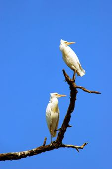 Free Great White Egrets Stock Photography - 6302622