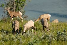Free Bighorn Sheep Grazing, Jasper National Park Royalty Free Stock Photography - 6303367