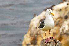 Free Lone Seagull On Rocks Royalty Free Stock Image - 6304256