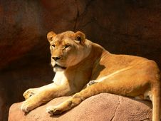 Free Lioness 01 Royalty Free Stock Photos - 6304548