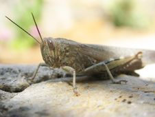 Free Grasshopper Royalty Free Stock Photography - 6304607
