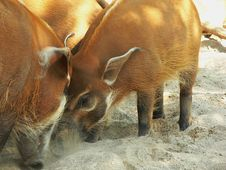 Free Red River Hogs 01 Royalty Free Stock Images - 6304699