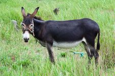 Free Donkey On Rural Grassland Royalty Free Stock Photography - 6305277