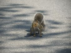 Free Grey Squirrel Stock Image - 6305551