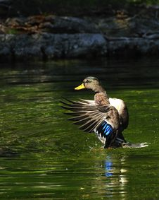 Free Flaping Duck Stock Photos - 6305763