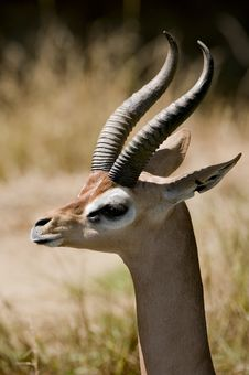 Gerenuk Stock Photo
