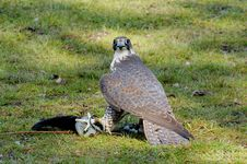Free Saker Falcon Stock Images - 6306454