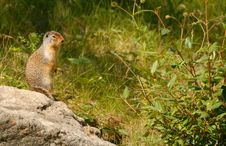 Free Richardson S Ground Squirrel, Alberta, Canada Stock Photos - 6306753