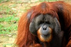 Free Old Large Orangutan Stock Image - 6307511