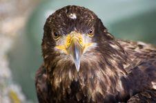 Free Big Falcon Stock Photos - 6307563