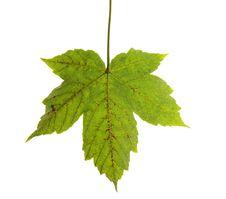 Free Maple Leaf Isolated On White Stock Photos - 6308253