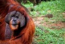 Free Old Large Orangutan Hanging Stock Photo - 6308810