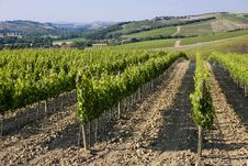 Free TUSCANY Countryside With Vineyards Royalty Free Stock Photos - 6308948