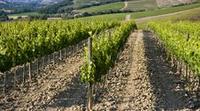 Free TUSCANY Countryside With Vineyards Royalty Free Stock Images - 6308949