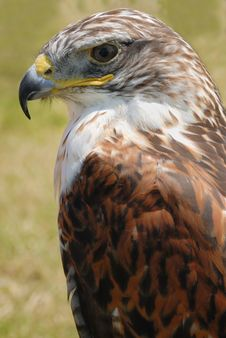 Free Red Tail Hawk Stock Photo - 6309270